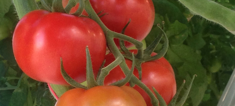 Tomatoes pack a punch